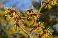 witch-hazel-999520_640