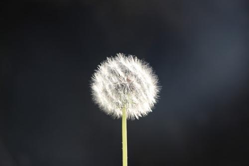 dandelion-3170554_1280
